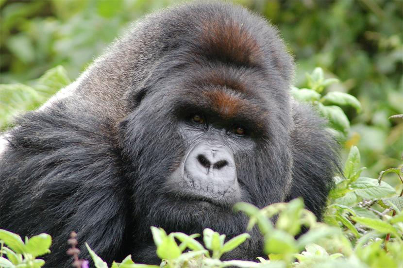 Uganda – Bjerggorillaer i disen