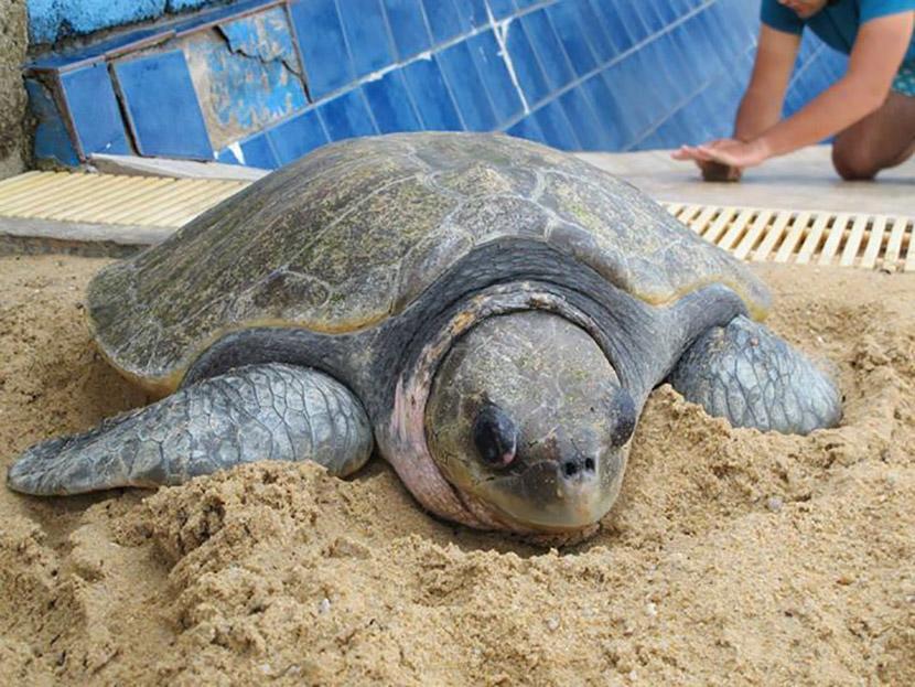 Äitikilpikonna pesii Projects Abroadin merikilpikonnien suojeluhankkeessa Meksikossa