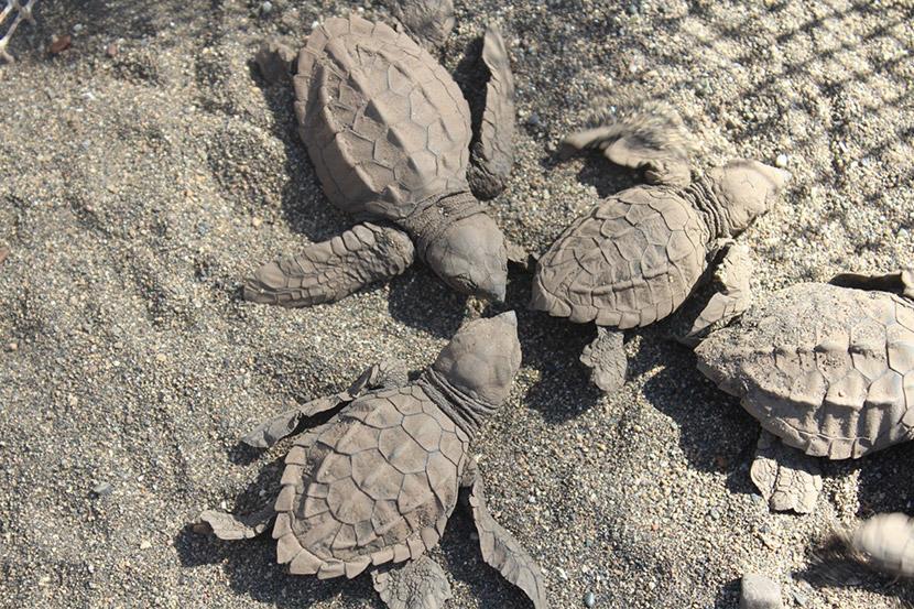 Kilpikonnan poikasia Merikilpikonnien suojeluhankkeessa Meksikossa