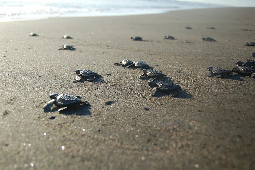 Kilpikonnan poikaset matkaavat hiekkarannan ylitse mereen Meksikossa