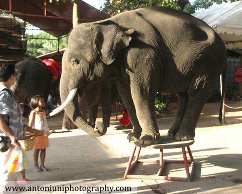 Un elefante addomesticato si esibisce