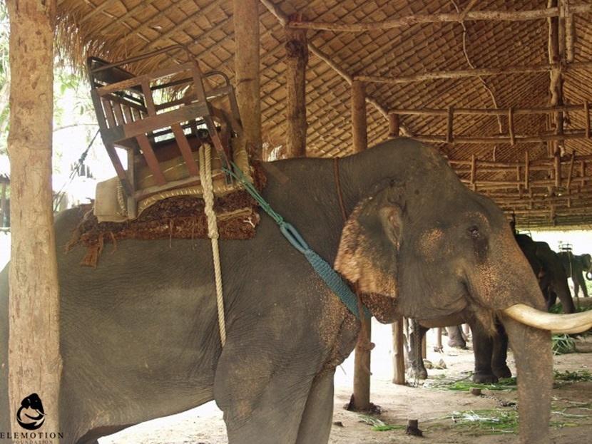 Elefanti equipaggiati per il trasporto di persone