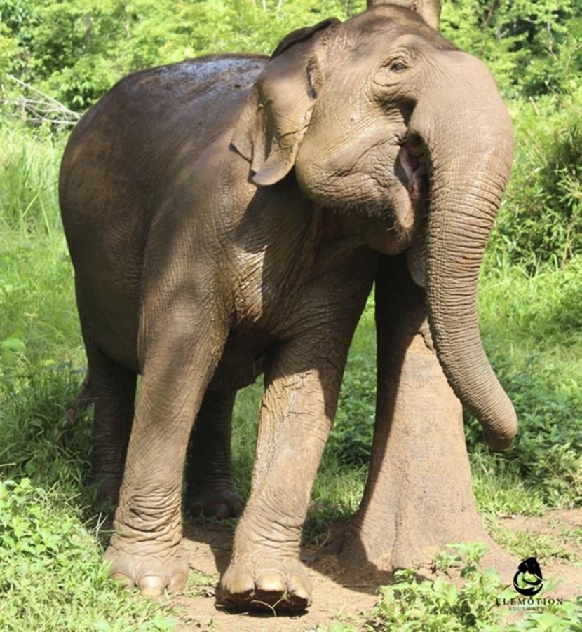 Un elefante stanco in seguito al trasporto di persone