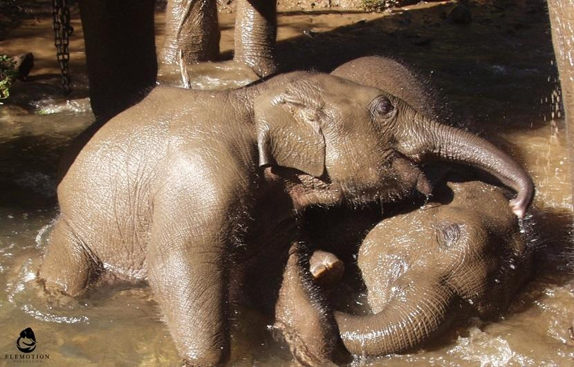 Cuccioli di elefante che socializzano