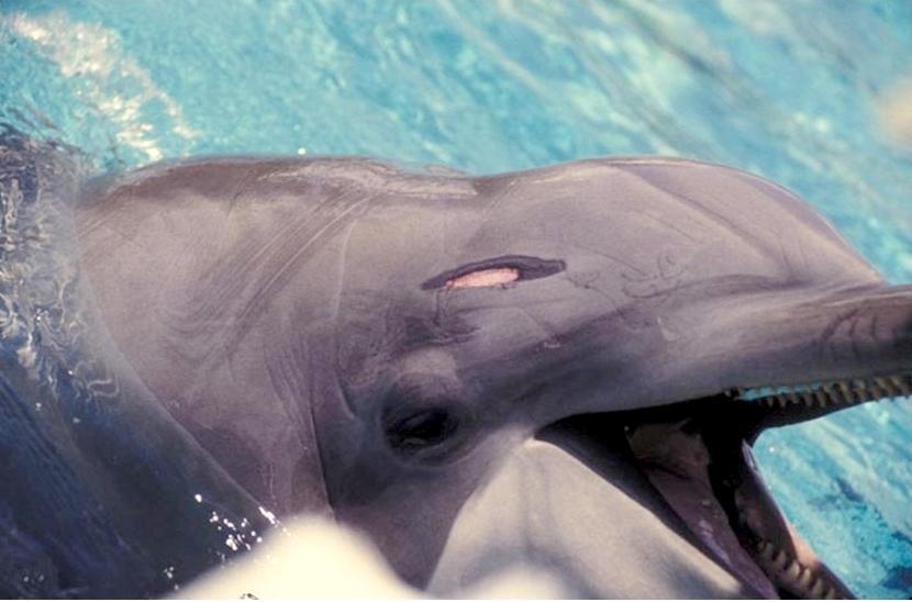 I delfini in cattività presentano ferite