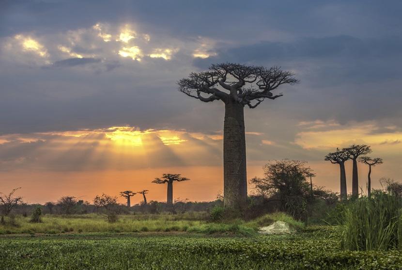 マダガスカルのバオバブの木