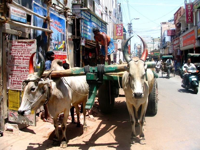 インドの街中でリキシャを引く水牛