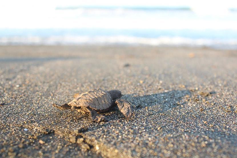 Een schildpadje haast zich naar de zee over het strand in Mexico