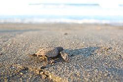 De tocht van een schildpad naar zee