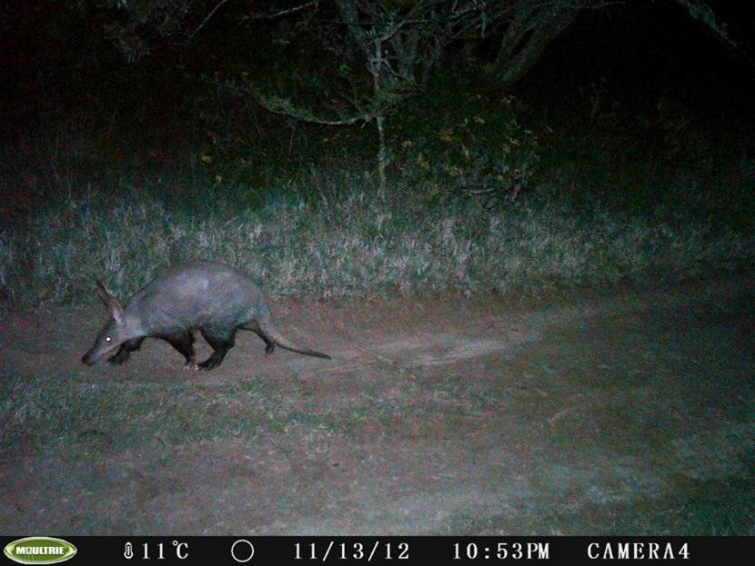 Verborgen camera foto van een aardvarken op het natuurbehoud project in Kenia van Projects Abroad