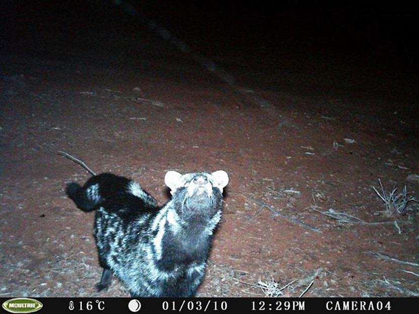 Verborgen camera foto van een Afrikaanse civetkat op het natuurbehoud project in Botswana van Projects Abroad