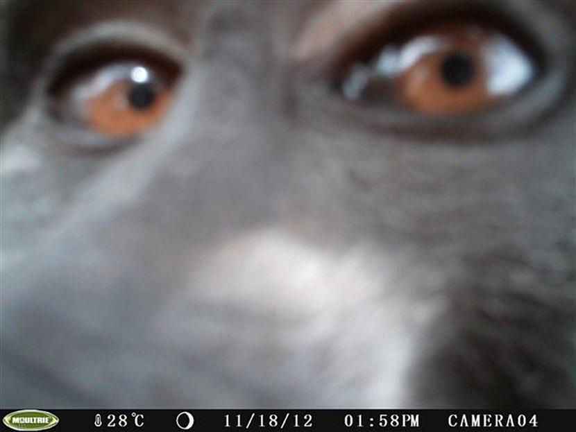 Verborgen camera foto van een baviaan op natuurbehoud project in Botswana van Projects Abroad