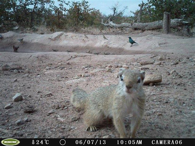 Verborgen camera foto van een boom eekhoorn op het natuurbehoud project in Botswana van Projects Abroad