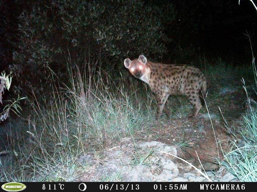 Verborgen camera foto van een gevlekte hyena op het natuurbehoud project in Kenia van Projects Abroad