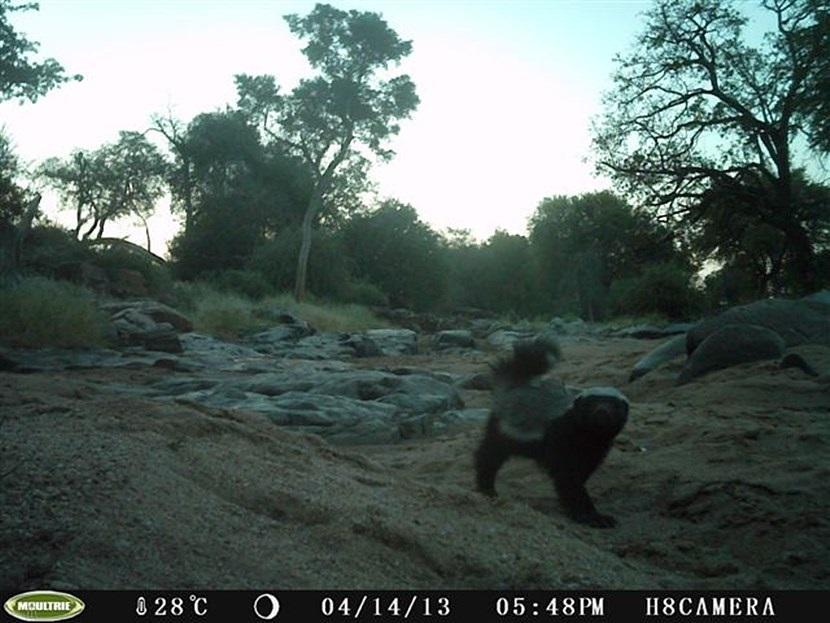 Verborgen camera foto van een honingdas op het natuurbehoud project in Botswana van Projects Abroad