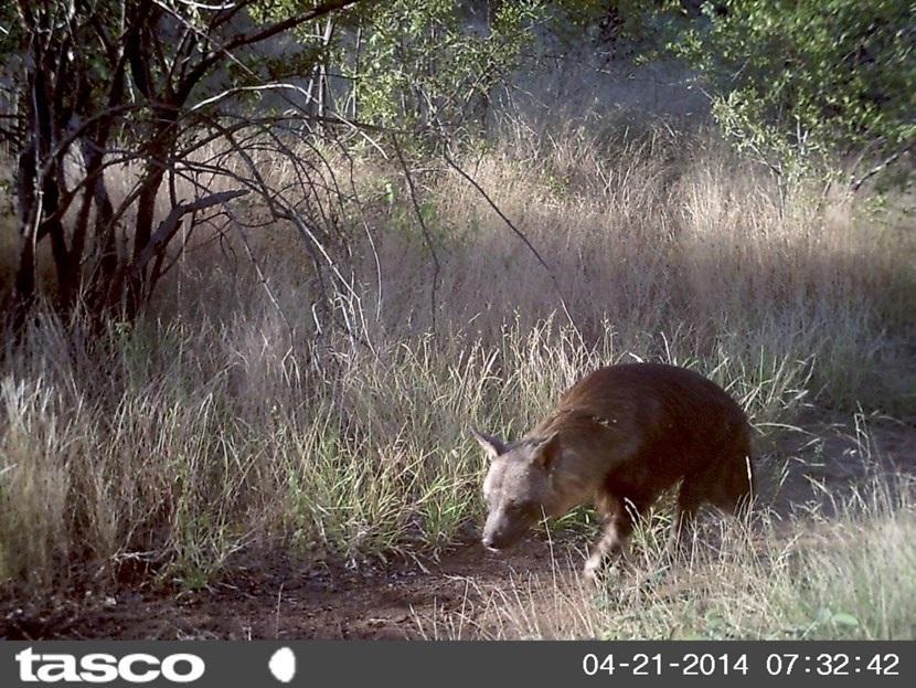 Verborgen camera foto van een hyena op natuurbehoud project in Botswana van Projects Abroad