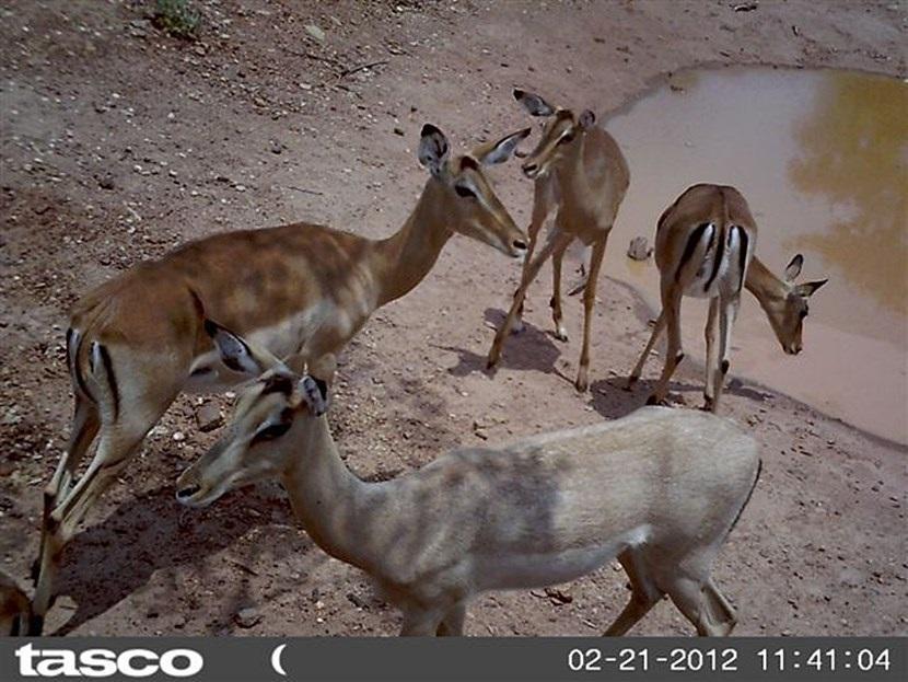 Verborgen camera foto van impala's op het natuurbehoud project in Botswana van Projects Abroad