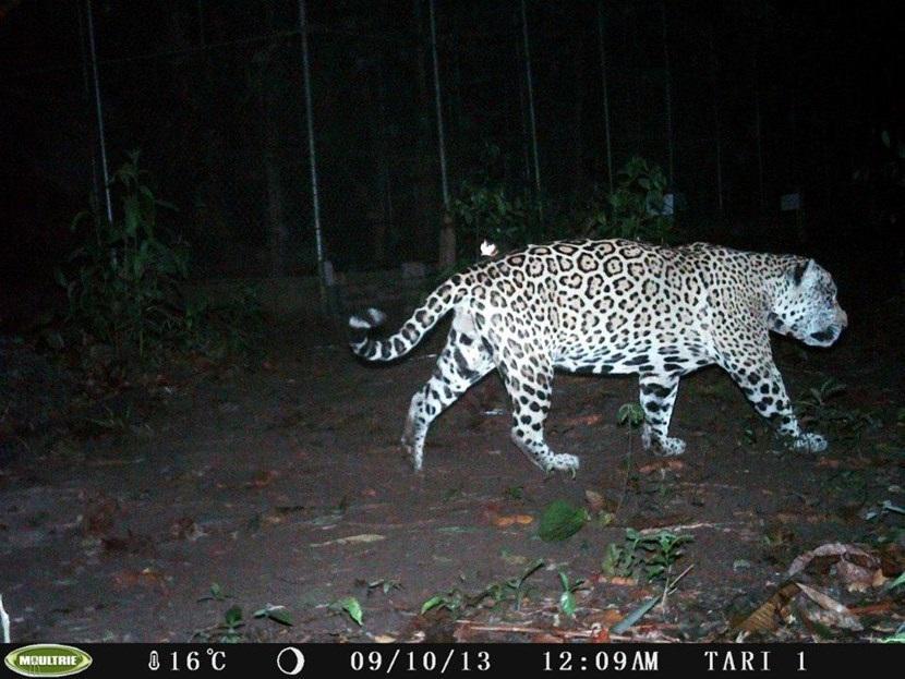 Verborgen camera foto van een jaguar op natuurbehoud project in Peru van Projects Abroad