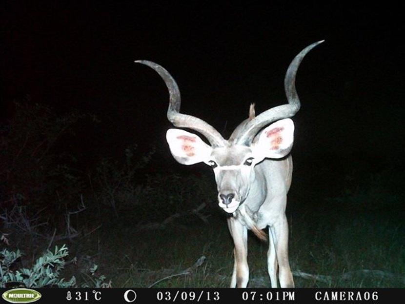 Verborgen camera foto van een koedoe op het natuurbehoud project in Botswana van Projects Abroad