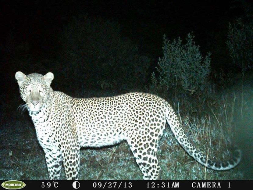 Verborgen camera foto van een luipaard op het natuurbehoud project in Kenia van Projects Abroad