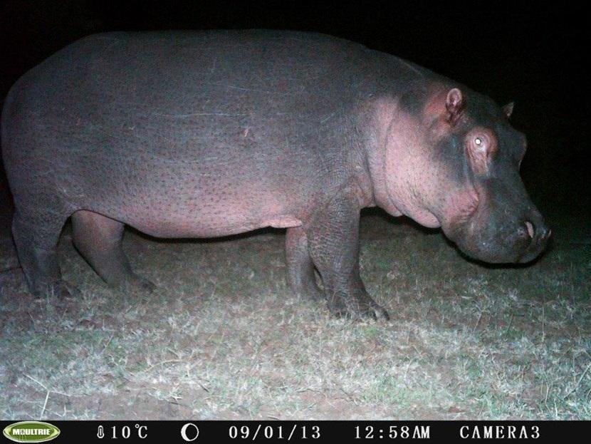 Verborgen camera foto van een nijlpaard op het natuurbehoud project in Kenia van Projects Abroad