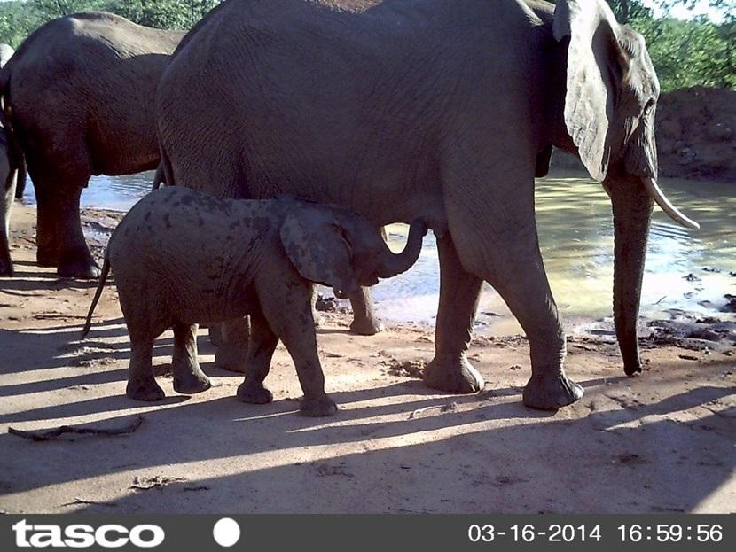 Verborgen camera foto van olifanten op het natuurbehoud project in Botswana van Projects Abroad
