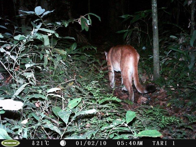 Verborgen camera foto van een poema op het natuurbehoud project in Peru van Projects Abroad