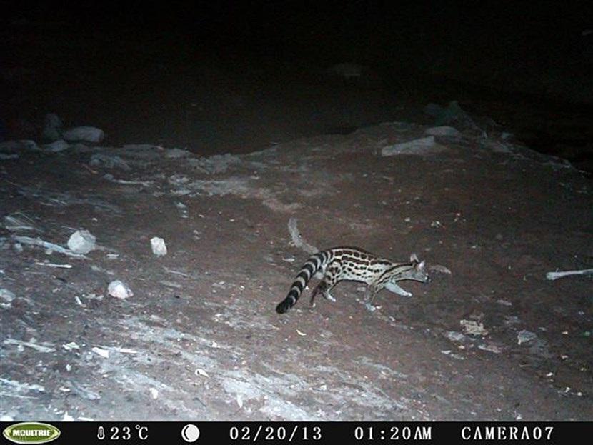 Verborgen camera foto van een Tijgergenet op natuurbehoud project in Botswana van Projects Abroad