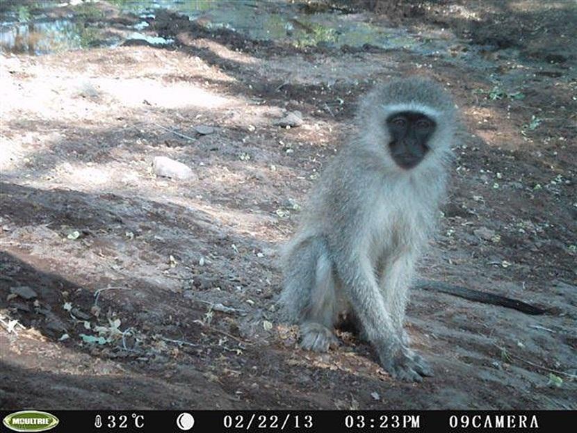 Verborgen camera foto van een Blauw aap op het natuurbehoud project in Botswana van Projects Abroad