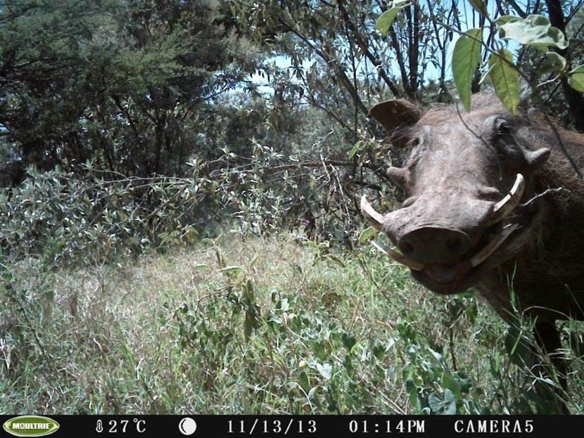 Verborgen camera foto van een wrattenzwijn op het natuurbehoud project in Kenia van Projects Abroad