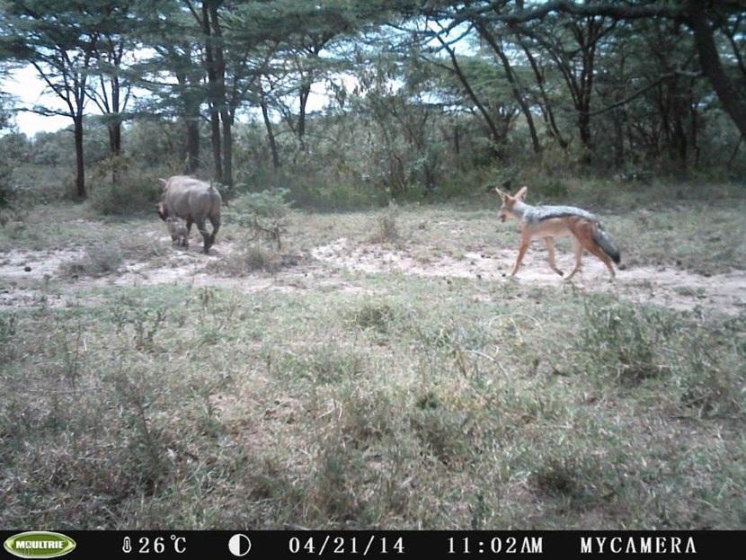 Verborgen camera foto van een zadeljakhals op het natuurbehoud project in Kenia van Projects Abroad
