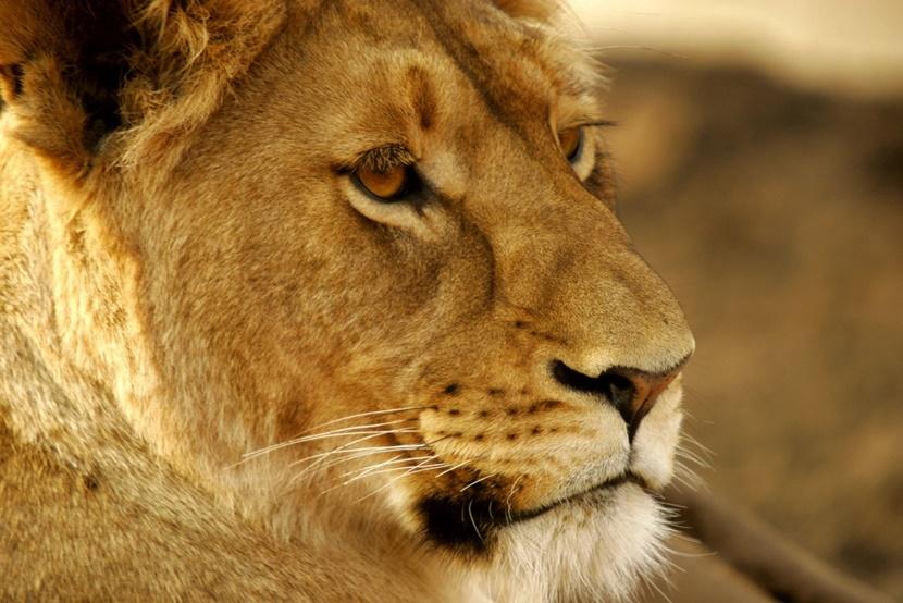 Een leeuw in Zuid-Afrika
