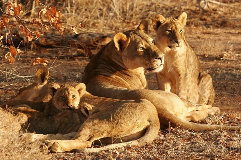 Leeuwen genietend van de zon in Afrika