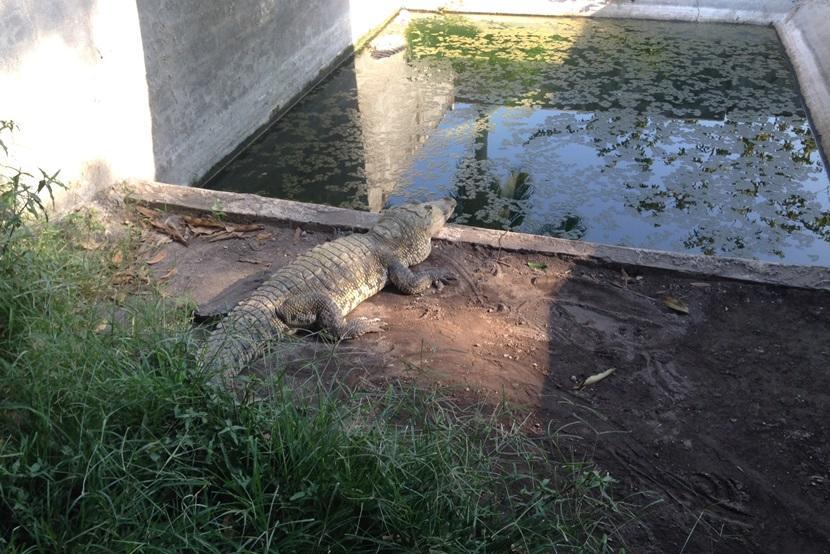 Krokodil bij opvancentrum in Mexico