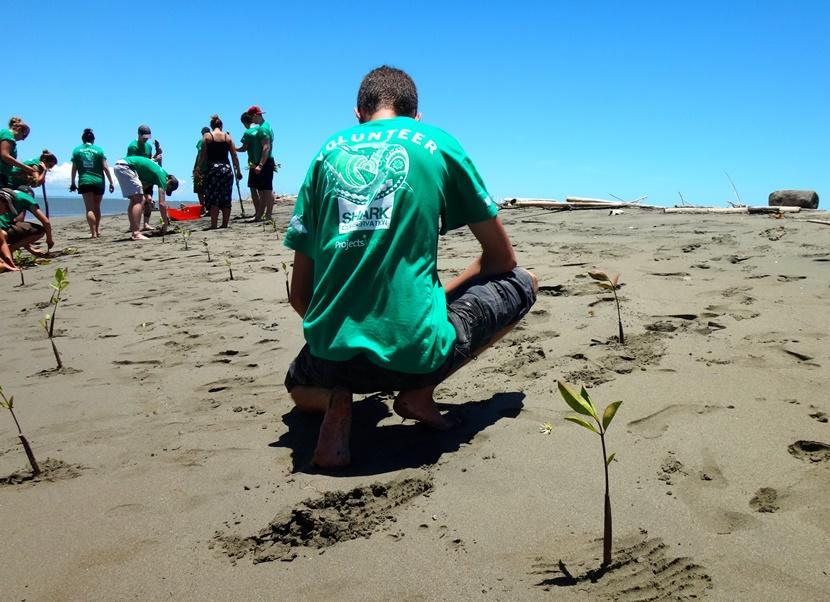 Een belangrijke taak van vrijwilligers in Fiji is het planten van jonge mangroven op het strand in Fiji.