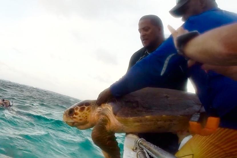 Een grote zeeschildpad in Belize wordt getagd voor onderzoek.