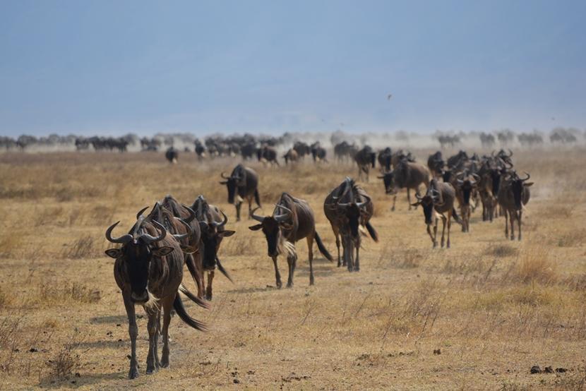 TIn de Ngorongoro krater zie je onder anderen honderden gnoes.