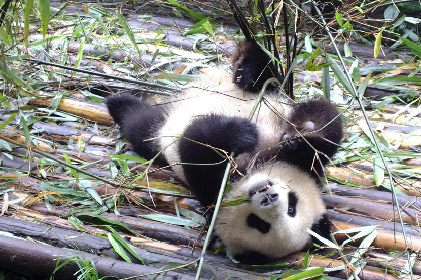 Deelname aan een jongerenreis naar China geeft vrijwilligers de mogelijkheid te werken met panda's.