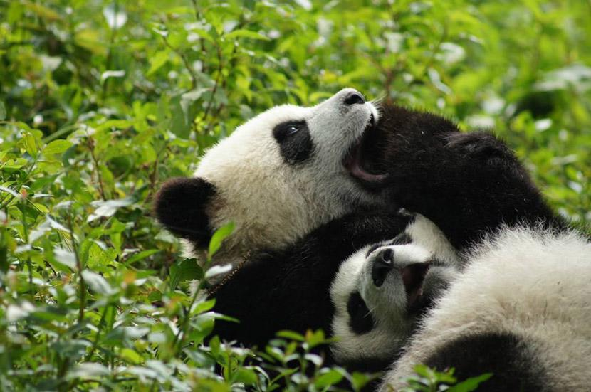 Playful pandas in China