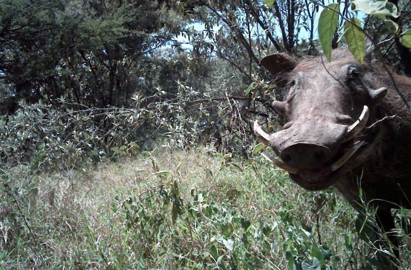A curious warthog in Kenya