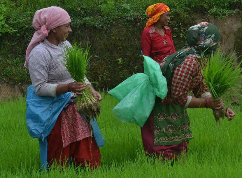 Harvesting rice in Nepal