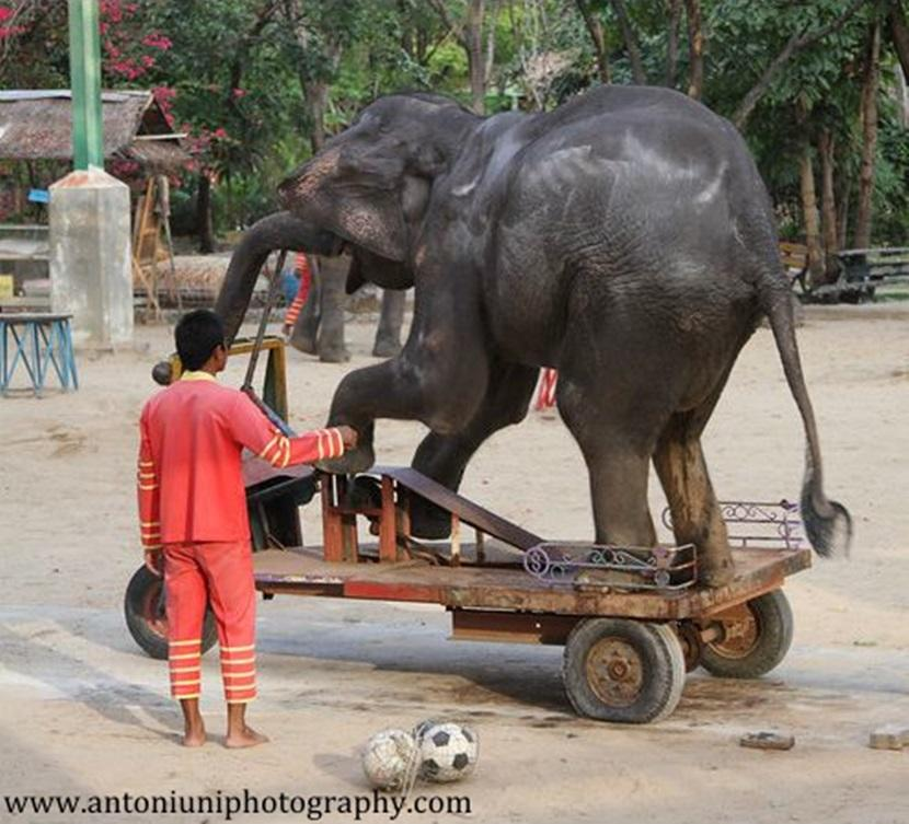 An elephant performing in a show