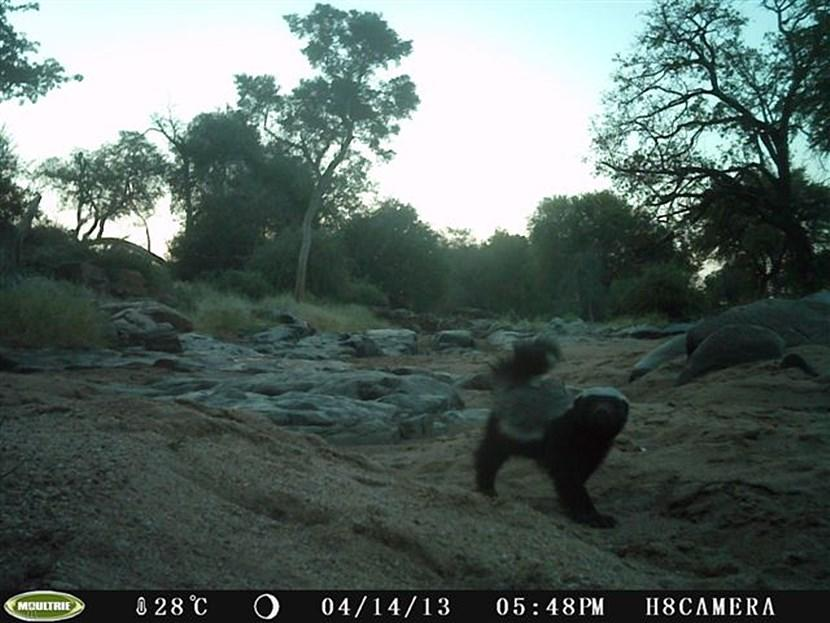 Honey badger in Botswana