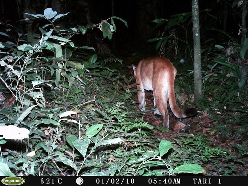 Puma in Peru