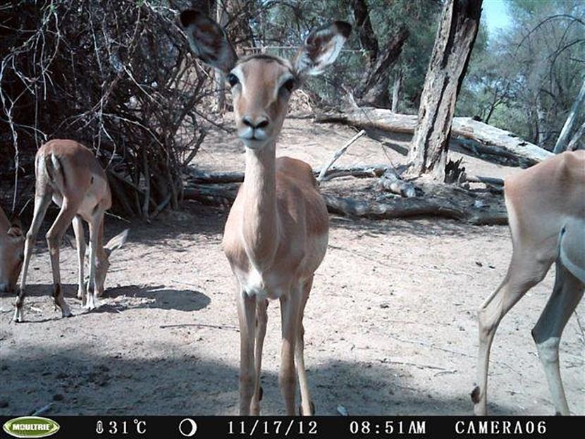 Impala in Botswana