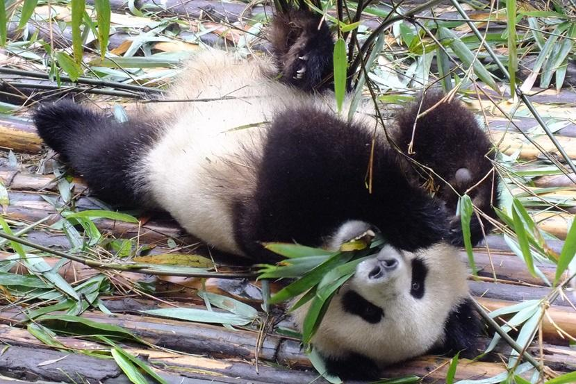 The Giant Panda Research Base