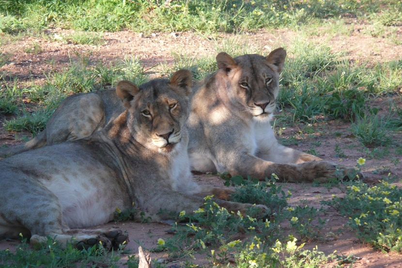Two lions resting in the shade