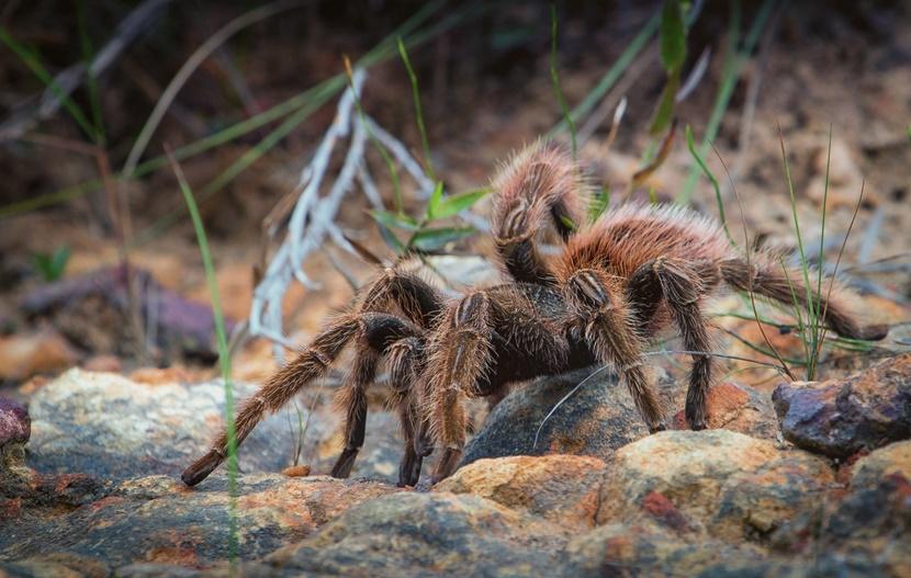 A tarantula