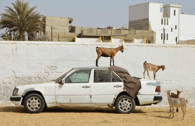 Goats playing on a car in Saint Louis, Senegal, a sight very different from what volunteers may be used to