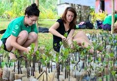 Projects Abroad Conservation volunteers plant mangrove propagules as part of reforestation efforts in Fiji